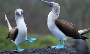 blue footed boobys_small